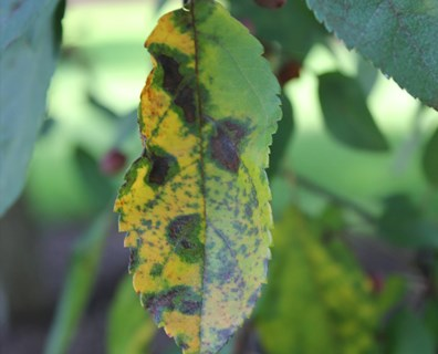Tree fungi thrive in the warm, wet weather. Learn how to identify fungi, like apple scab, on your plants and trees and what to do if you find it.