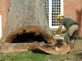 Reed Dunfee uses a chainsaw to cut the last notch into the once thriving white oak, revealing a hallow and rotten trunk.