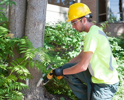 A Davey Tree employee applies an emerald ash borer treatment.