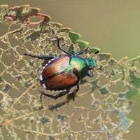 Below discover what trees Japanese beetles do and don't like to eat and how to get rid of this garden pest.