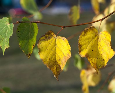 There are many reasons your leaves could be turning yellow and falling off. Run down the checklist below to help diagnose your tree.