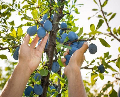 When to trim your fruit trees? Is summer pruning good for fruit trees? Read on to find.
