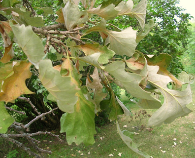 If you love oak trees as much as us, you've dreaded the deadly oak wilt disease. Read on to learn why, pruning oak trees in summer increases their risk of oak wilt.