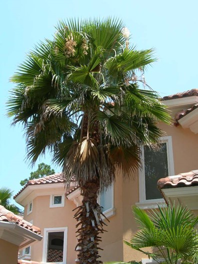Learn how to prune palm trees - step-by-step