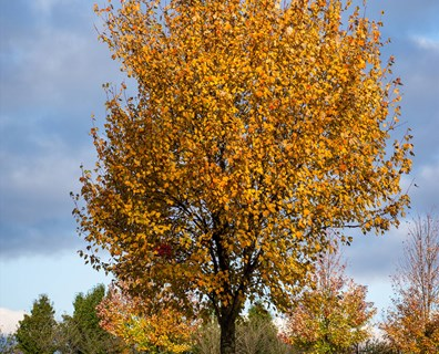 See small leaves or dying branches on your maple tree? Learn if you can save your tree or if your maple tree is dying.