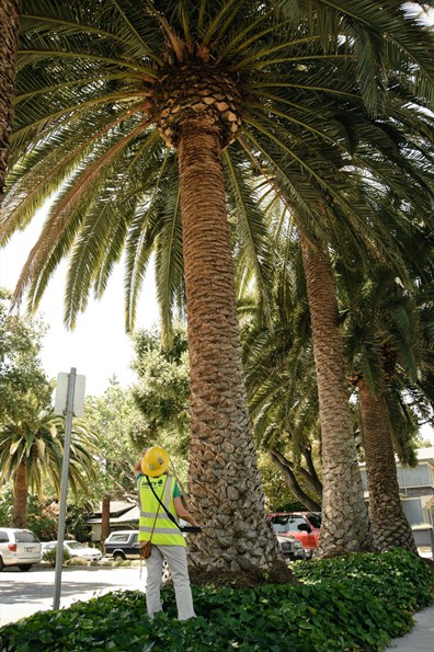 Do you know the best time of year to trim your palm trees?