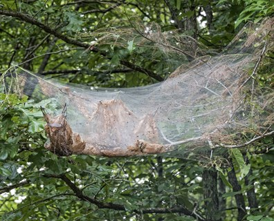 Fall webworms build their webs in your trees and are often confused for spiders.