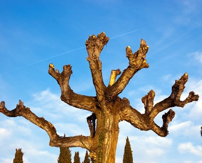 Why is tree topping harmful to trees? A better alternative is pruning, so learn how to prune the right way.