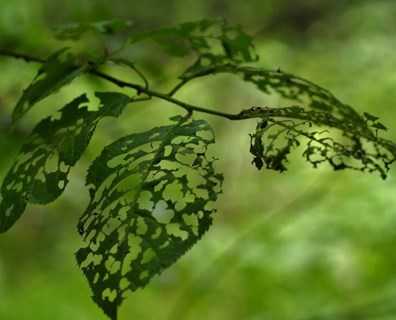 Tree banding stops cankerworms, gypsy moths, and caterpillars from climbing your trees and causing damage to the canopy. Read more about this cankerworm treatment…