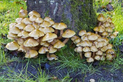 Noticing mushrooms growing at the base of your tree? It may be honey fungus! Learn how to treat it here.