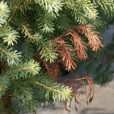 Wondering why the top of your evergreen is turning brown? Harsh weather or a pest/disease may be to blame, find out here:
