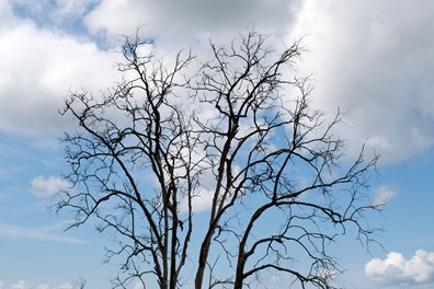 Many worry during winter: Is my tree dead or dormant? A leafless, resting tree can appear dead. Read more on how to tell if a tree is dead in winter.