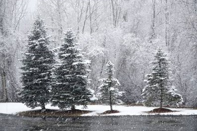 Rock salt can be harsh on our evergreens. Find salt tolerant trees for northeast regions here.