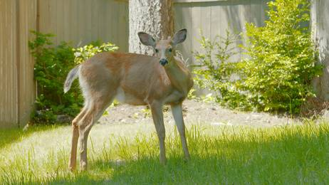 Wagners Tree Service Stop Deer From Eating Arborvitae Trees Even Emerald Green
