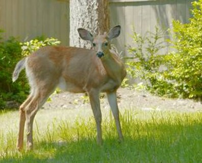 Keep deer from eating your arborvitae tree!