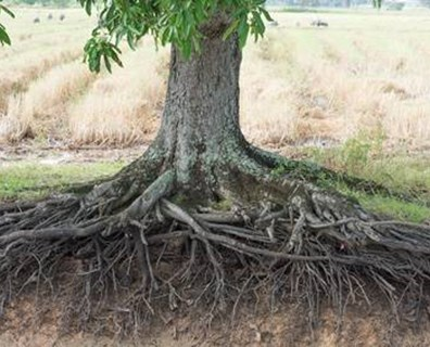 Spring means new growth. Wondering how to make your trees grow faster? Davey shares when tree roots grow the most below.
