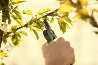 Is it OK to prune trees and shrubs in spring?