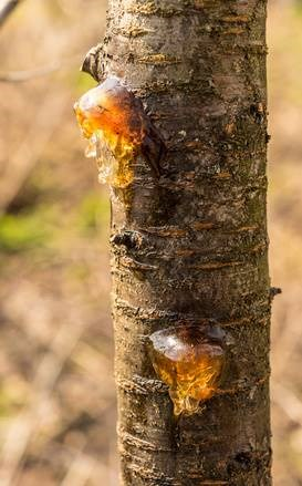 Why is your fruit tree leaking sap? Is that plum tree sap edible? And learn how to stop a tree from leaking sap.