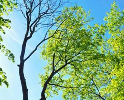Wondering why your tree has no leaves on one side? Learn why your tree is not leafing out.