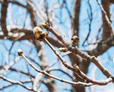 Why are the buds on your tree not breaking, budding or turning into leaves?
