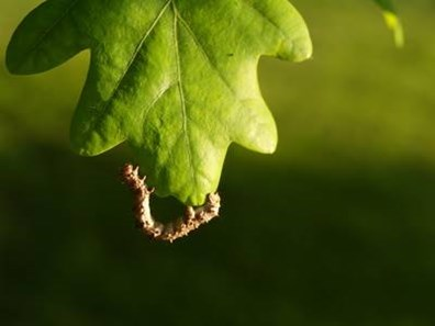 Have you noticed more oak tree caterpillar pests this spring? Learn how to prevent caterpillars from eating oak leaves here:
