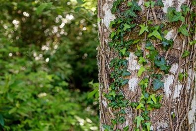 Should you remove ivy from trees?