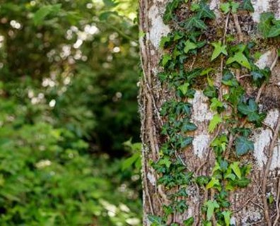 Why You Should Be Removing Ivy From Trees And How To Do It
