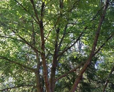 If you had to remove your ash tree because of EAB, try one of these ash tree alternatives instead.