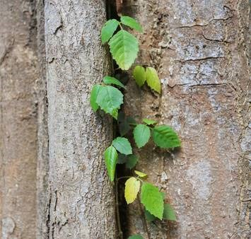How to stop tree roots from sprouting in your lawn.