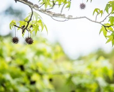 Learn how to stop sweetgum trees from producing.