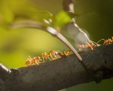 Learn how to get rid of ants on trees and plants and if ants are killing your tree.