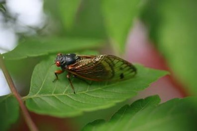 See cicadas on your tree leaves? Do they damage or eat trees?