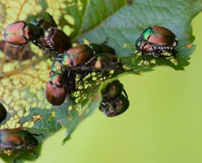 If Japanese beetles are eating your tree and plant leaves, learn how to control Japanese beetles in the garden.