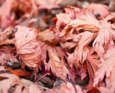Are your Japanese maple crispy, scorched, over or underwatered?