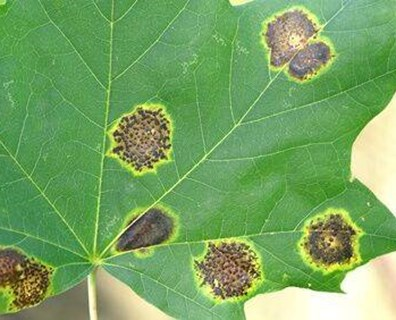 Learn about treatment for black spots on maple tree leaves.