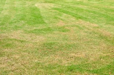 Yellow or brown grass after fertilizing? That could mean you over fertilized, and your lawn has fertilizer burn.