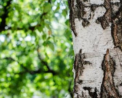 Why is bark falling off my tree?