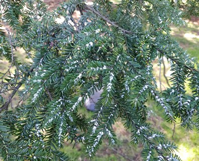 What is this white fuzz on my tree? It's hemlock woolly adelgid!