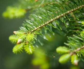 My Cut Christmas Tree Is Budding And Growing Can I Plant