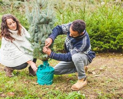 Learn how to plant a Christmas tree without roots and how to plant a Christmas tree in the garden.