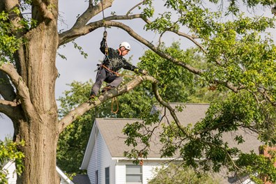 How often should you prune oak trees? Find out more.