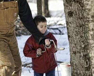 Does tapping maple trees damage the tree? Do you need to plug maple tap holes at the end of the season?
