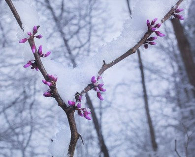 Learn about late spring frost damage and how it can cause freeze damage your trees.