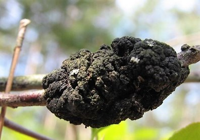 Does it look like you have black fungus on your tree branches or tree trunk? It could be black knot fungus! Learn more about black knot and how to treat it.