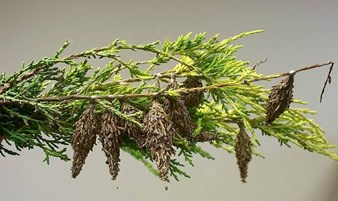 bagworms are they harmful and how can i get rid of them davey blog. Black Bedroom Furniture Sets. Home Design Ideas