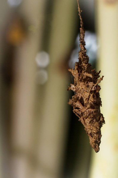 Spot a bagworm on your evergreen or tree? Learn if bagworms are harmful, where bagworms came from, what bagworms look like and how to get rid of bagworms on arborvitae and more.