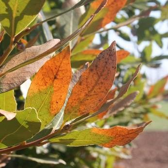 Leaves dropping after transplant? Learn how to save a dying transplanted tree and how long it takes a tree to recover from transplant shock.