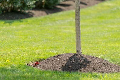 Learn why keeping mulch away from tree trunks is important to your trees health.