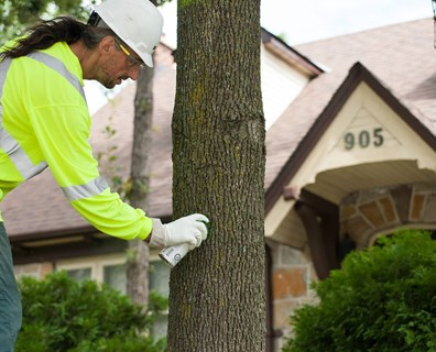Infected ash tree? Learn more about how to treat emerald ash borer and what the cost could be.
