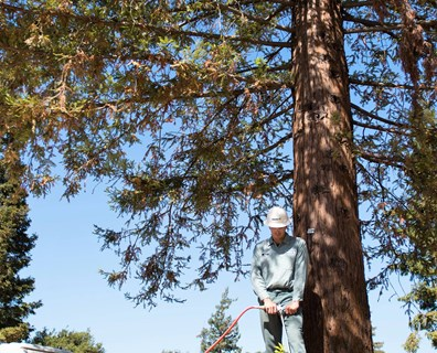 Learn how to tell if a redwood tree is dying and what you can do to save a dying redwood tree.